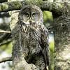 Great Gray Owl © 2006 C. M. Neri  Whitefish Point, MI GGOWWP    Mat Sizes  5 x 7 $10.00 USD 8 x 10 $18.00 USD 11 x 14 $28.00 USD card $4.00 USD