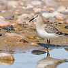 Baird's Sandpiper © 2008 C. M. Neri.  Whitefish Point, MI BASAWP08    Mat Sizes  5 x 7 $10.00 USD 8 x 10 $18.00 USD 11 x 14 $28.00 USD card $4.00 USD