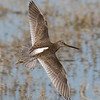Dowitcher in flight © 2009 Nova Mackentley Laguna Atascosa NWR, TX DIF    Mat Sizes  5 x 7 $10.00 USD 8 x 10 $18.00 USD 11 x 14 $28.00 USD card $4.00 USD