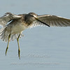 Dowitcher in flight © 2008 Nova Mackentley Laguna Atascosa NWR, TX DF2    Mat Sizes  5 x 7 $10.00 USD 8 x 10 $18.00 USD 11 x 14 $28.00 USD card $4.00 USD
