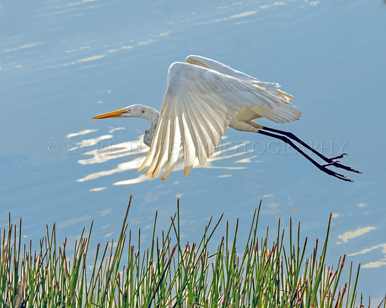 Egret in Flight....