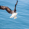 A bald eagle grabs a herring near downtown Juneau.  Filename: AKA-14-4059-100.jpg