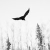 A crow flies overhead on campus.  Filename: AKA-12-3660-2.jpg
