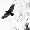 A crow flies overhead on campus.  Filename: AKA-12-3660-5.jpg