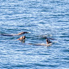 Sea lions swim just offshore north of Juneau.  Filename: AKA-14-4059-405.jpg