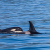 A family of orca whales surfaces in Resurrection Bay near Seward.  Filename: AKA-13-3901-64.jpg