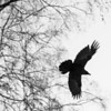 A crow flies overhead on campus.  Filename: AKA-12-3660-1.jpg
