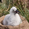 Black Browed Albatross Chick Steeple Jason Island, Falklands GPS  61.2280,  -51.0351