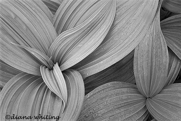 False Hellebore 3