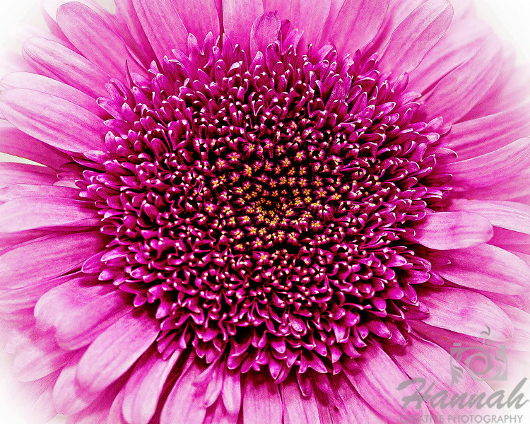 1st PLACE BLUE RIBBON, Washington County Fair Photography Exhibition 2014<br /> <br /> Class:  Color Prints<br /> Lot:  Patterns and Textures<br /> Description:  Patterns and textures as shown at the top of this pink flower<br /> <br /> © Copyright Hannah Pastrana Prieto
