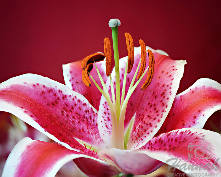 2nd PLACE RED RIBBON, Washington County Fair Photography Exhibition 2014<br /> <br /> Class:  Color Prints<br /> Lot:  Still Life<br /> Description:  A single pink and white Stargazer lily flower <br /> <br /> © Copyright Hannah Pastrana Prieto