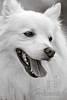 1st PLACE BLUE RIBBON, Washington County Fair Photography Exhibition 2013  Class: Black & White Lot:  Animals - Pets Description:  A portrait of a smiling American Eskimo dog named Chabby  © Copyright Hannah Pastrana Prieto