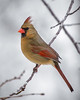 Female Cardinal Winter