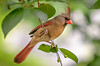 Female Cardinal Summer