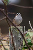 White-crowned Sparrow IMG_0670