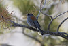 Dark-eyed Junco IMG_1685