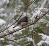 Dark-eyed Junco IMG_1225