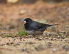 Dark-eyed Junco IMG_1239