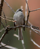 Dark-eyed Junco IMG_1285