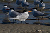 Royal Terns IMG_0426