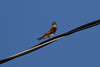 Northern Rough-winged Swallow IMG_1979