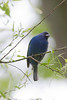 Blue Grosbeak IMG_2103