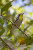 Yellow-throated Warbler IMG_2068