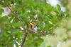 Yellow-throated Warbler  IMG_3614