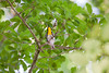Yellow-throated Warbler IMG_3613