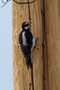 Hairy Woodpecker IMG_1840