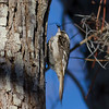 Brown Creeper IMG_9995