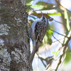 Brown Creeper IMG_9685 rev 2