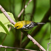Black-throated Green Warbler IMG_0587