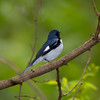 Black-throated Blue Warbler IMG_0610