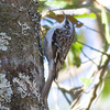Brown Creeper IMG_9685 rev 1