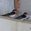 Cliff Swallows IMG_7062