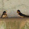 Cliff Swallows IMG_7064