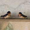 Cliff Swallows IMG_7058