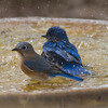 Eastern Bluebirds IMG 1094
