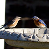 Eastern Bluebirds IMG_0178