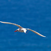 Red-tailed Tropicbird IMG_0778