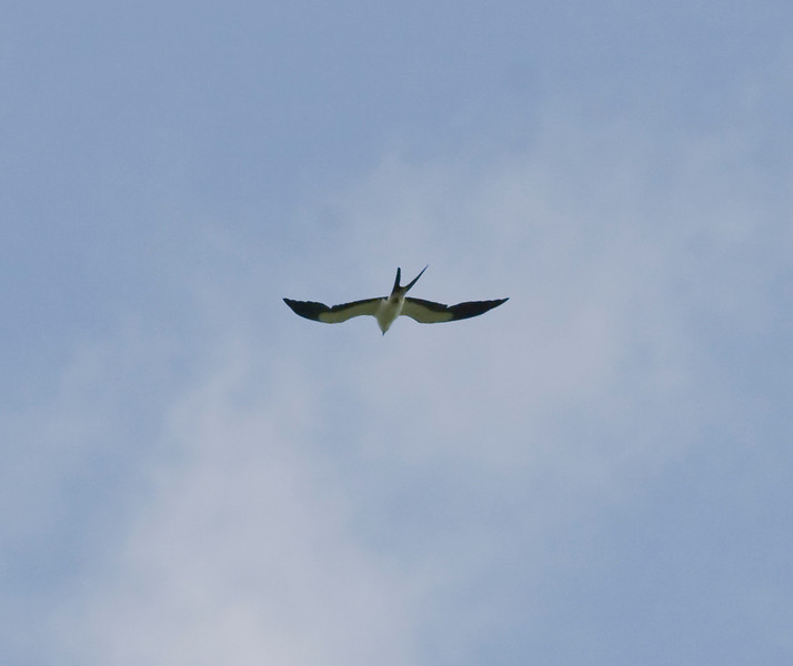 Swallow-tailed Kite IMG_3554 rev 1