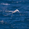 White-tailed Tropicbird IMG_0758 rev 1