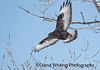 Rough-legged Hawk, Dark Morph_DSC3590 copy