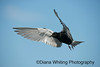 Black Tern_DEW2743 copy 2