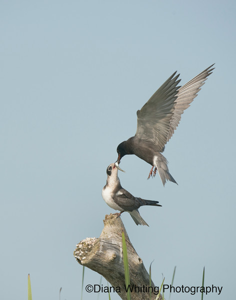 Black Tern Handing off Fish to Chick_DEW3111 copy