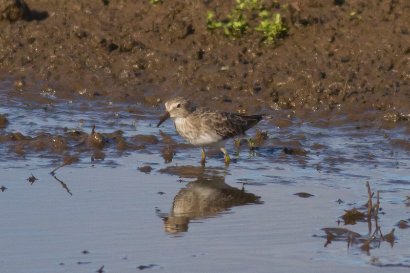 Sharp-tailed Sandpiper IMG_0132