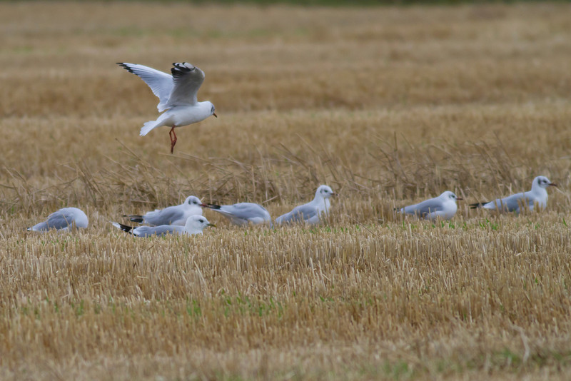 Black-headed Gulls IMG_8813