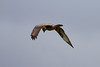 Hen Harrier IMG_9314