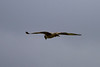 Hen Harrier IMG_9313